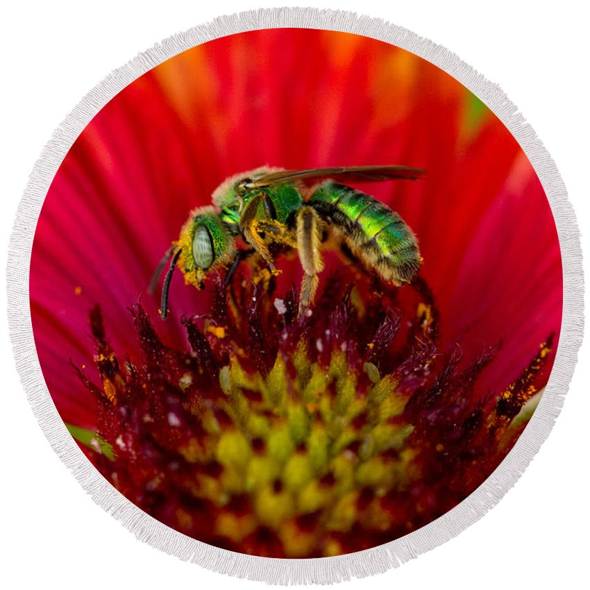 Animal Round Beach Towel featuring the photograph Sweat Bee Collecting Pollen by Anthony Mercieca