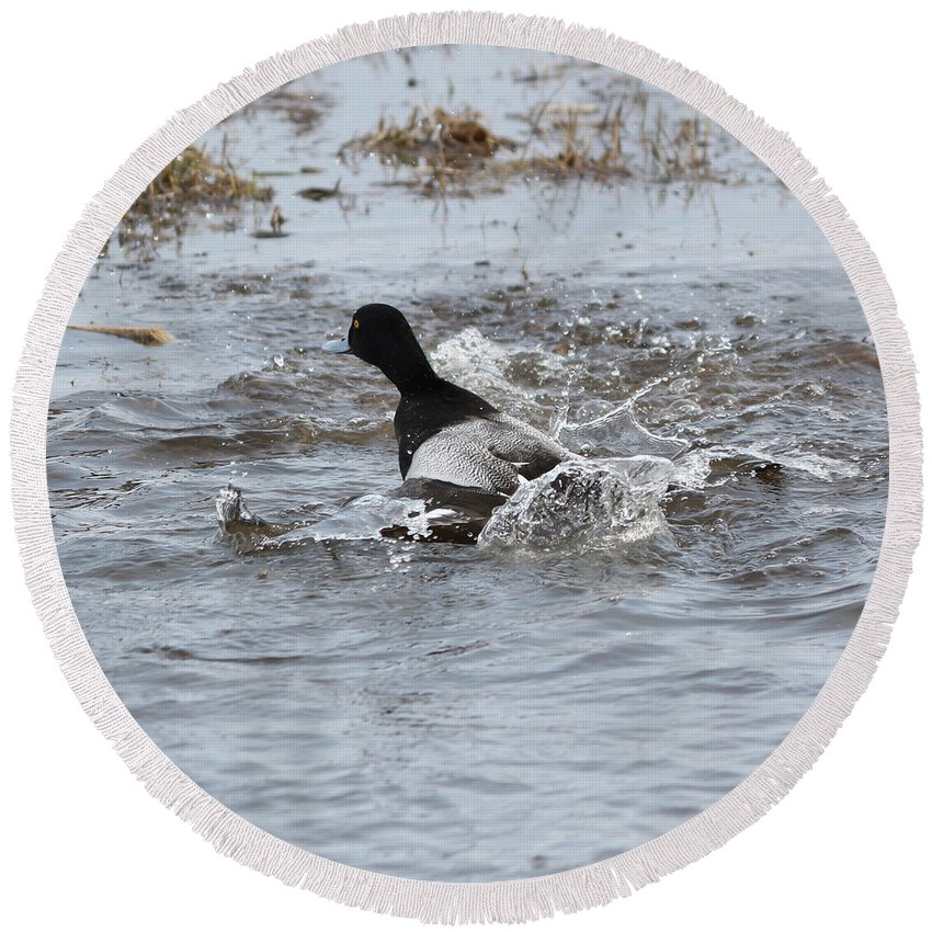 Lesser Scaup Round Beach Towel featuring the photograph Take Off by Lori Tordsen