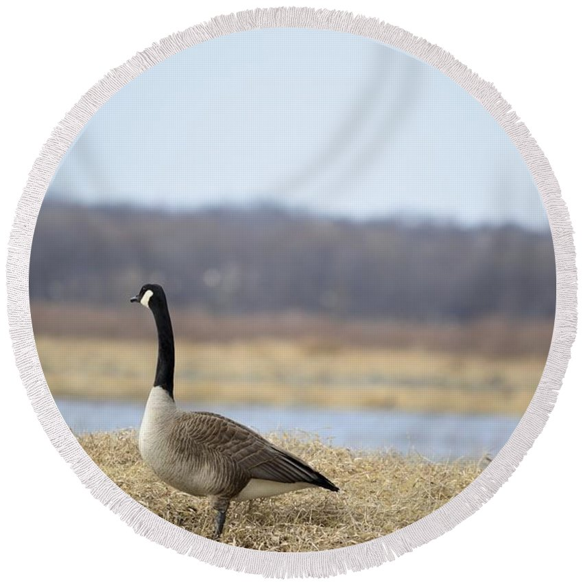 Geese Round Beach Towel featuring the photograph Taking A Gander by Bonfire Photography