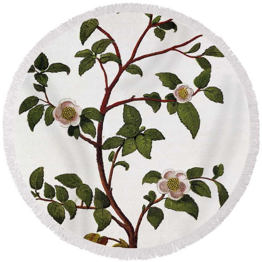 Tea Round Beach Towel featuring the painting Tea Branch Of Camellia Sinensis by Anonymous