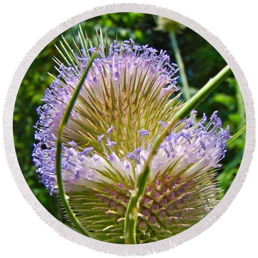 Teasel Round Beach Towel featuring the photograph Teasel Thistle - Dipsacus Fullonum by Mother Nature
