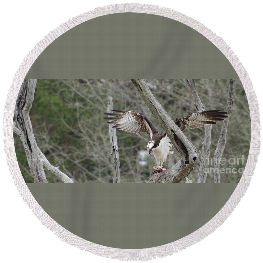 Bird Round Beach Towel featuring the photograph Thank You Lord For This Food, Osprey by Donna Brown