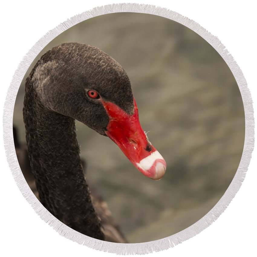 Lake Taupo New Zealand Black Swan Swans Animal Animals Bird Birds Creature Creatures Round Beach Towel featuring the photograph That Look by Bob Phillips
