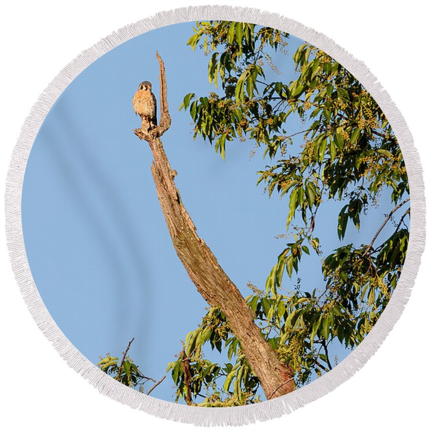 Kestrel Round Beach Towel featuring the photograph The American Kestrel by Bill Wakeley