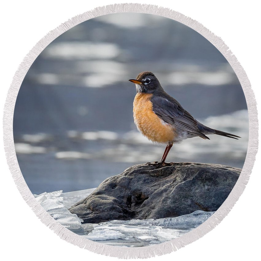 Robin Round Beach Towel featuring the photograph The American Robin Square by Bill Wakeley