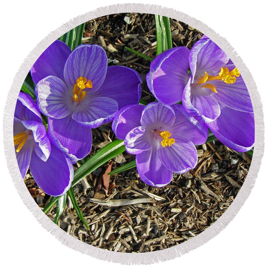 Crocus Round Beach Towel featuring the photograph The Crocus Groove by Tikvah's Hope
