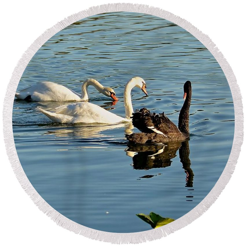Swan Round Beach Towel featuring the photograph The Gathering by Carol Bradley