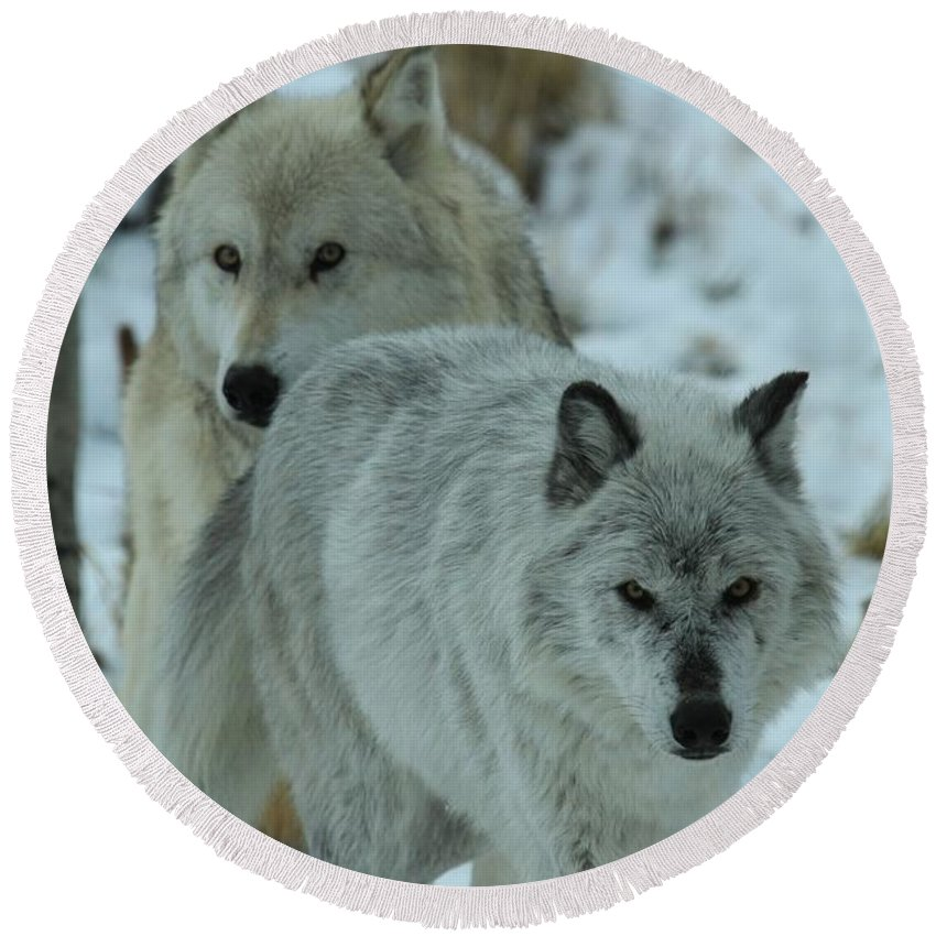 Gray Wolf Round Beach Towel featuring the photograph The Hunters by Adam Jewell