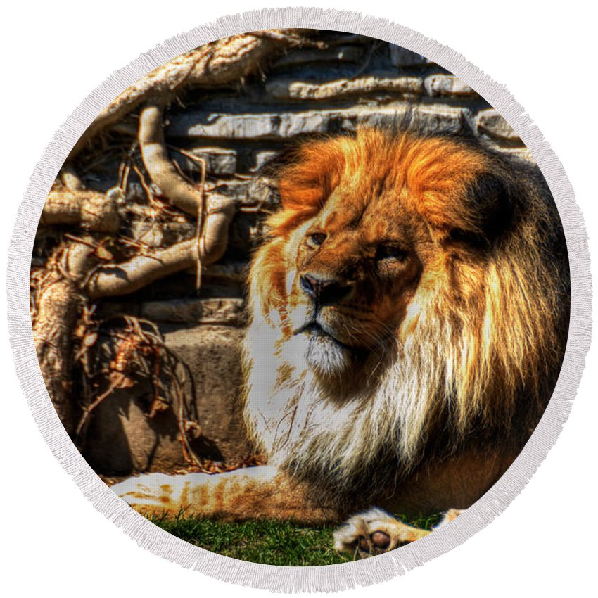 Lion Round Beach Towel featuring the photograph The King Lazy Boy At The Buffalo Zoo by Michael Frank Jr