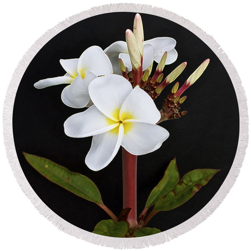 Plumeria Round Beach Towel featuring the photograph The Plumeria by Gwyn Newcombe
