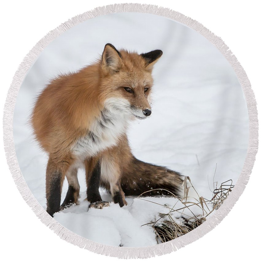 Fox Round Beach Towel featuring the photograph The Sly One by Jack Bell