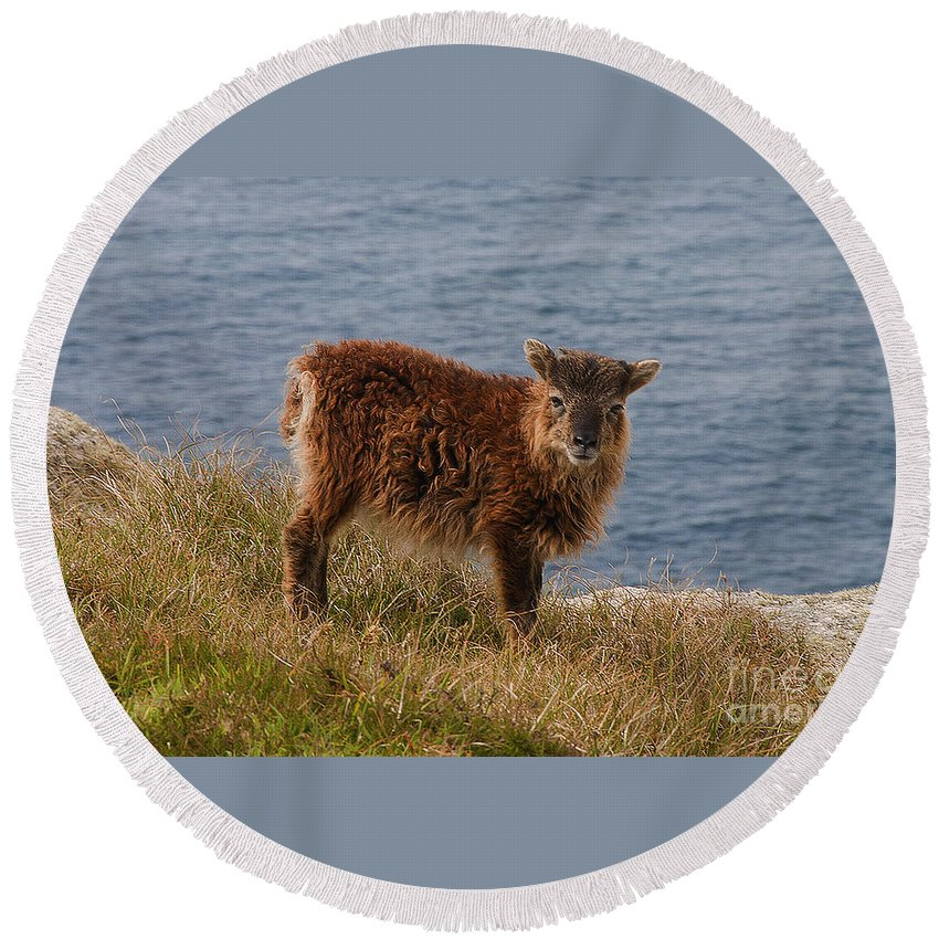 Sheep Round Beach Towel featuring the photograph The Soay Sheep by Rob Hawkins