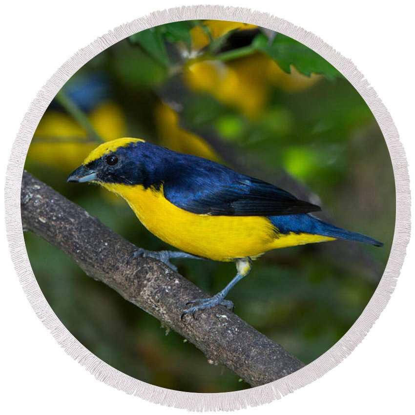 Thick-billed Euphonia Round Beach Towel featuring the photograph Thick-billed Euphonia by Anthony Mercieca