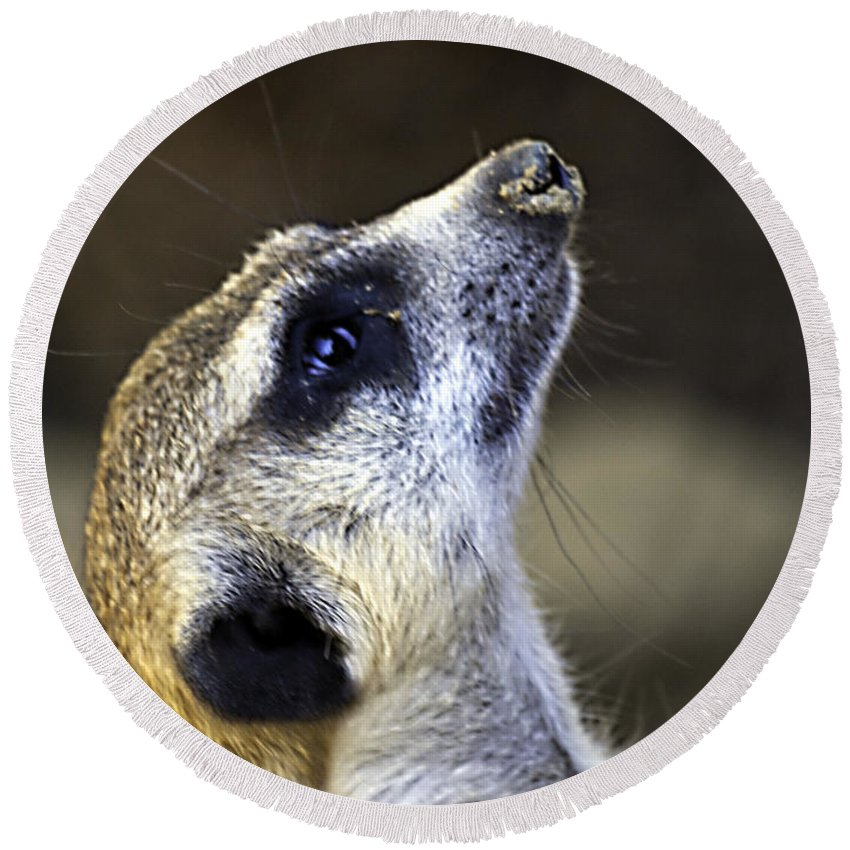 Meerkat Round Beach Towel featuring the photograph Things Are Looking Up by Ken Frischkorn