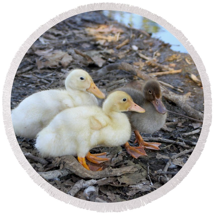 Baby Round Beach Towel featuring the photograph Three Baby Ducks by Diana Haronis