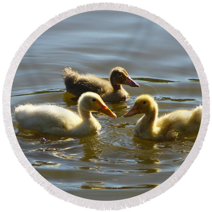 Baby Round Beach Towel featuring the photograph Three Baby Ducks Swimming by Diana Haronis