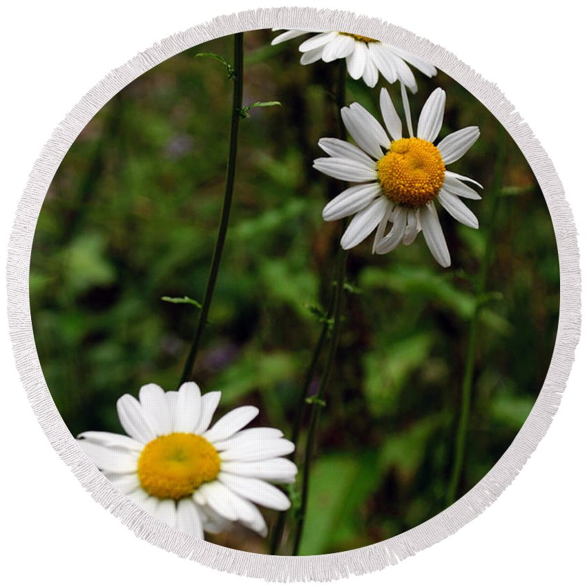 Daisy Round Beach Towel featuring the photograph Three Daisies by Tikvah's Hope