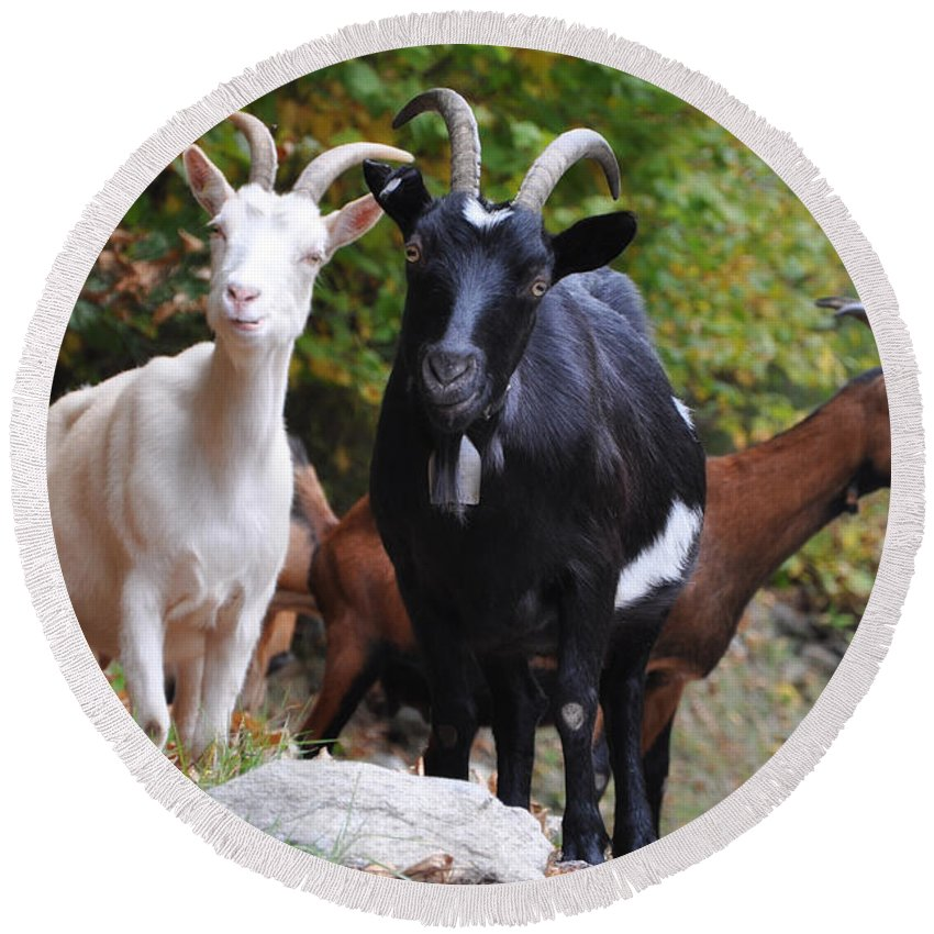 Three Round Beach Towel featuring the photograph Three Goats by Mats Silvan