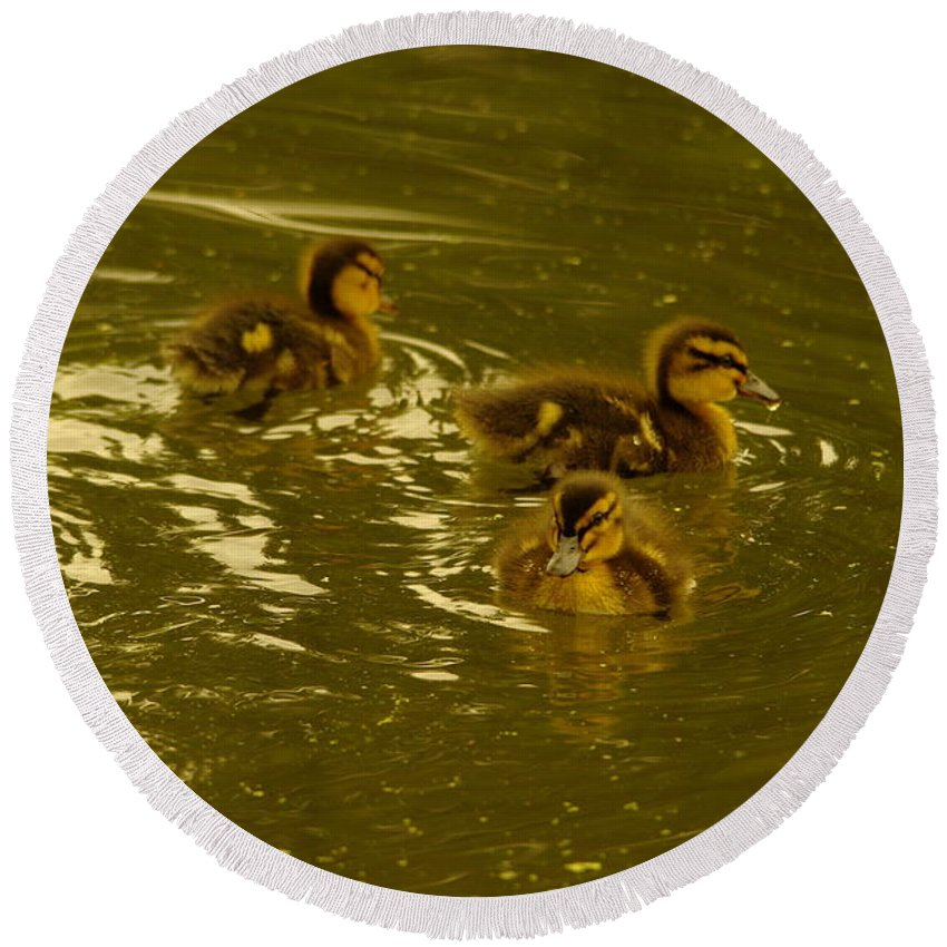 Birds Round Beach Towel featuring the photograph Three Little Duckies by Jeff Swan