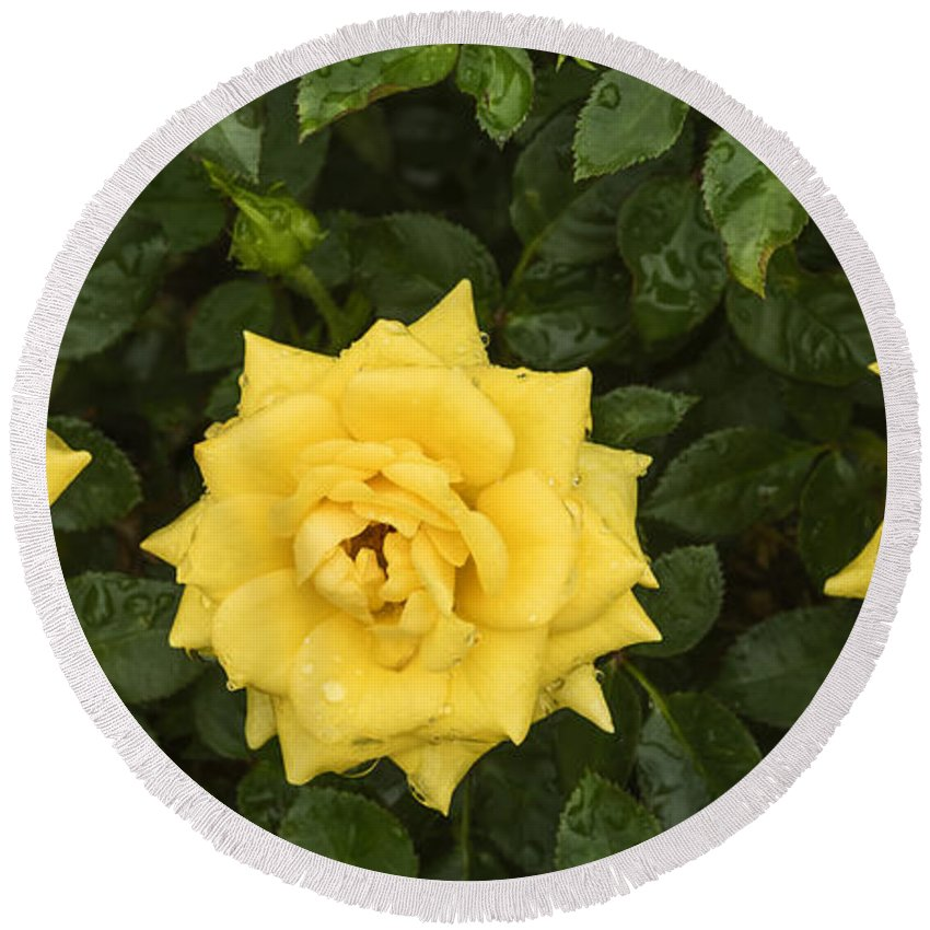 Yellow Roses Round Beach Towel featuring the photograph Three Yellow Roses In Rain by Vishwanath Bhat