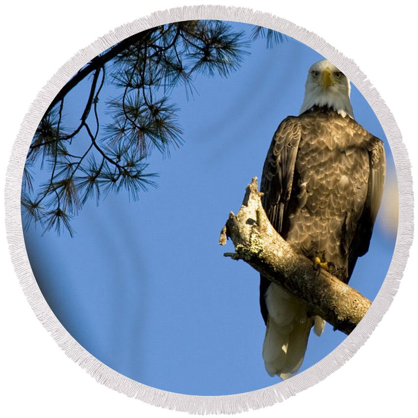 Bald Eagle Round Beach Towel featuring the photograph Through The Branches by Crystal Heitzman Renskers