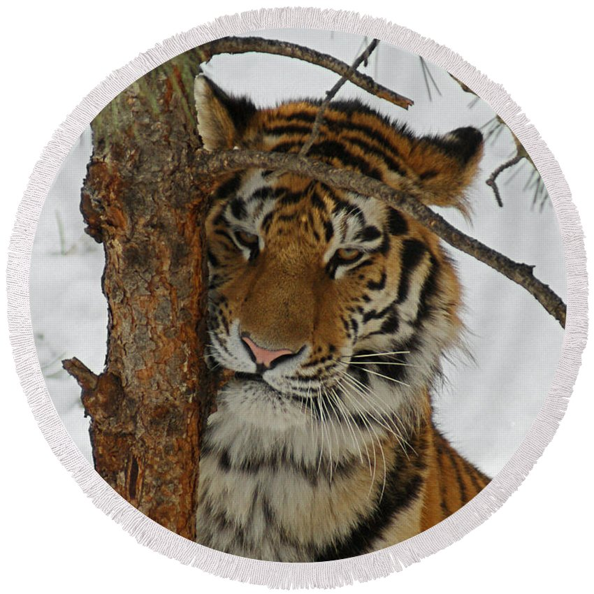 Tiger Round Beach Towel featuring the photograph Tiger 2 by Ernie Echols