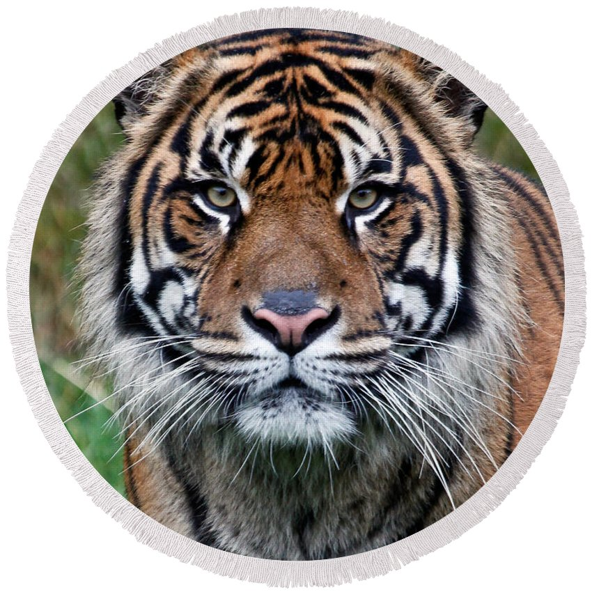 Tiger Round Beach Towel featuring the photograph Tiger Stripes by Athena Mckinzie