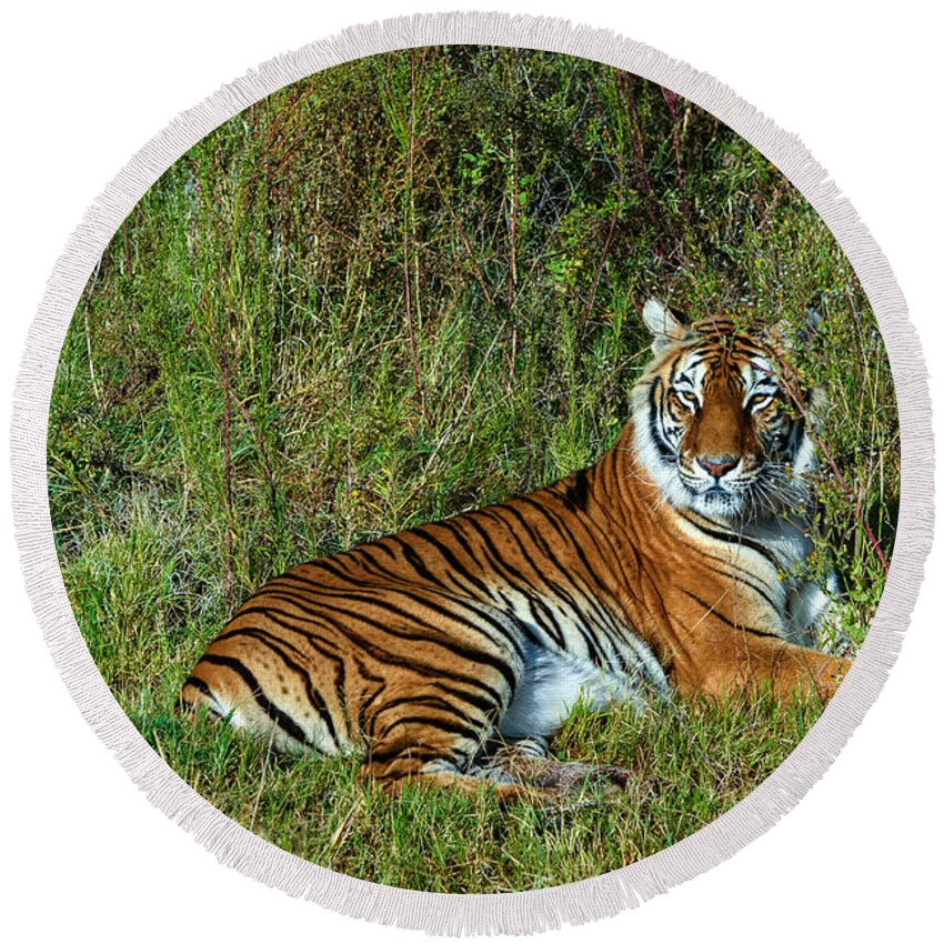 Tiger Round Beach Towel featuring the photograph Tiger In The Grass by Evelyn Harrison