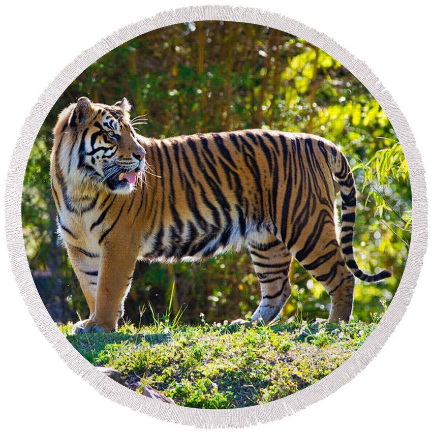 Tiger Round Beach Towel featuring the photograph Tiger On The Prowl by Vanessa Valdes