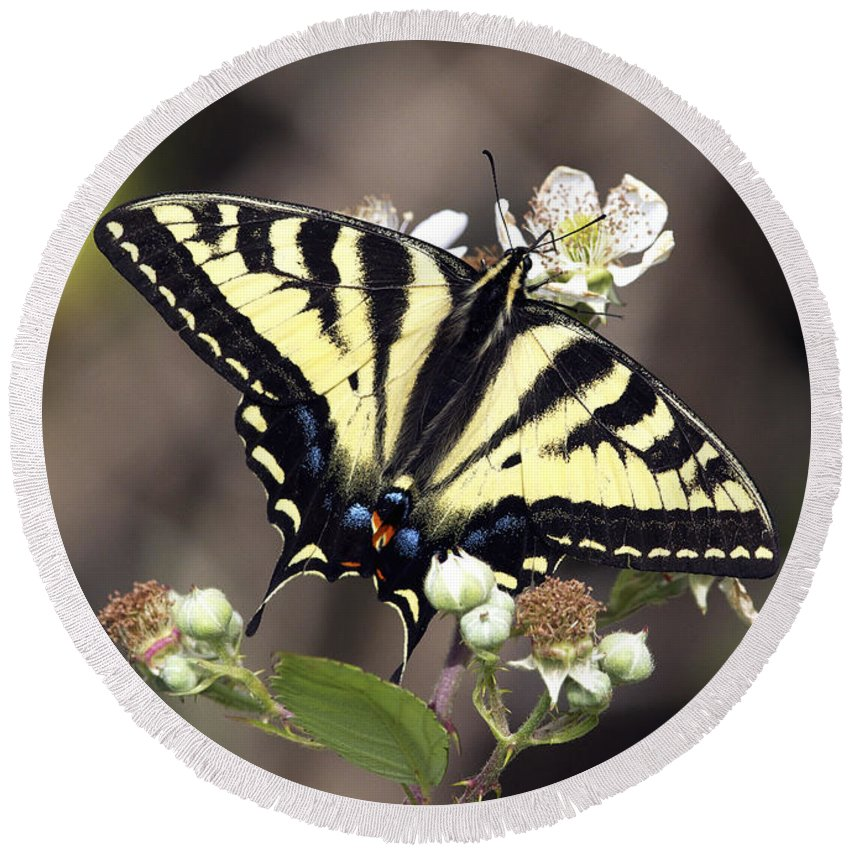 Tiger Swallowtail Butterfly Round Beach Towel featuring the photograph Tiger Swallowtail Butterfly 2a by Sharon Talson