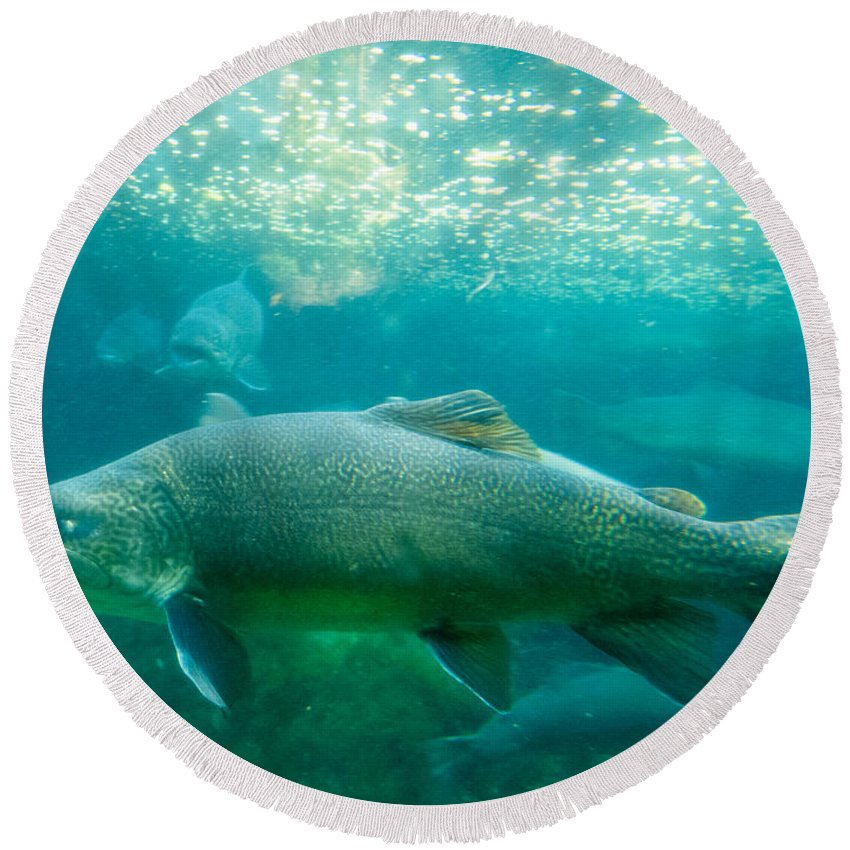 Salmo Trutta Round Beach Towel featuring the photograph Tiger Trout Salmo Trutta X Salvelinus Fontinalis Underwater by Stephan Pietzko