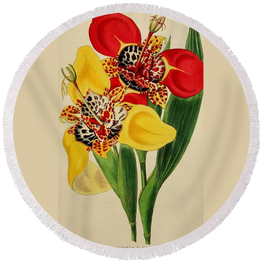 Florist Round Beach Towel featuring the painting Tigridia Pavonia And Conchiflora by Philip Ralley