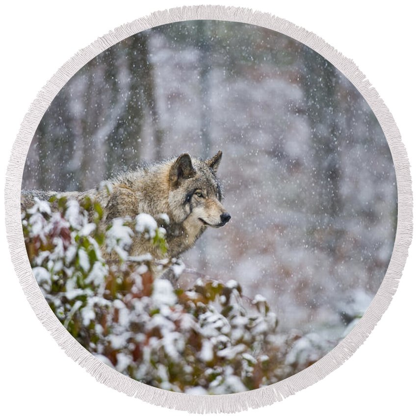 Timber Wolf Round Beach Towel featuring the photograph Timber Wolf Pictures 1395 by World Wildlife Photography
