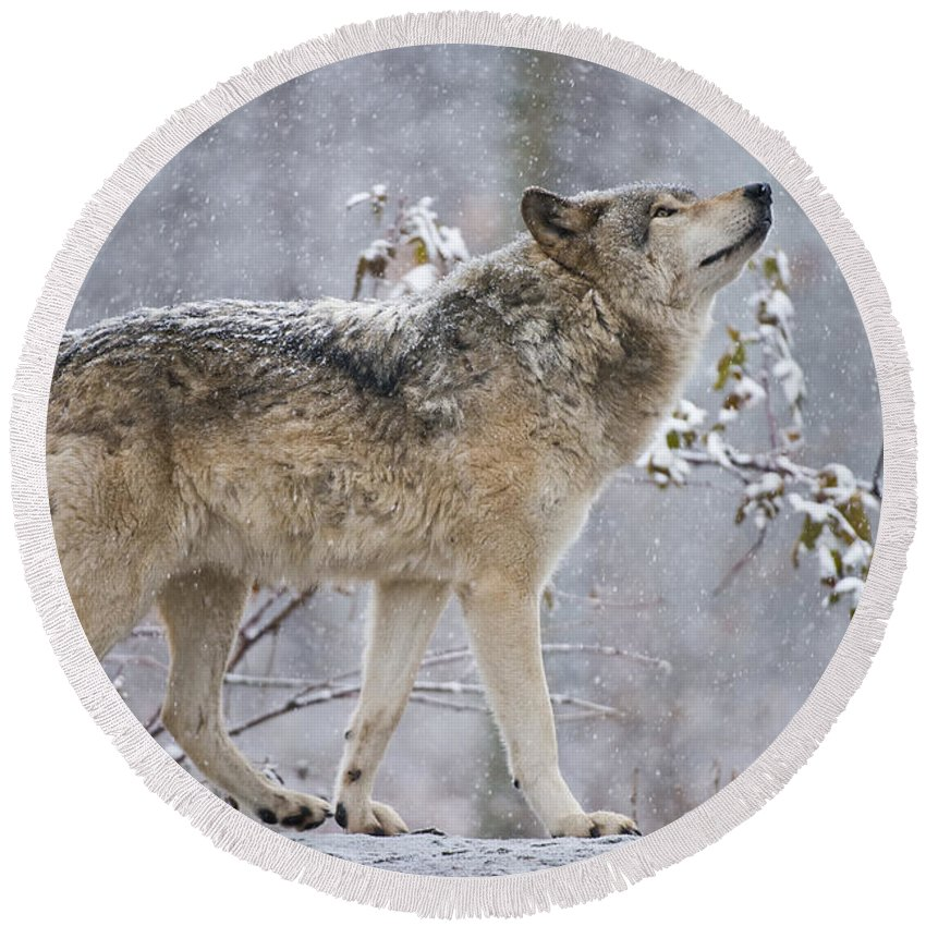 Timber Wolf Round Beach Towel featuring the photograph Timber Wolf Pictures 1401 by World Wildlife Photography