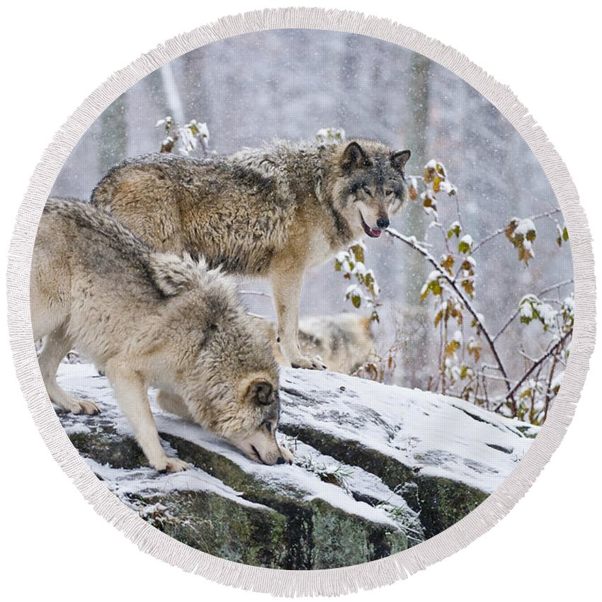 Timber Wolf Round Beach Towel featuring the photograph Timber Wolf Pictures 1420 by World Wildlife Photography