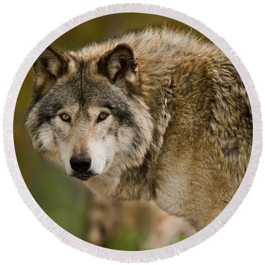 Timber Wolf Round Beach Towel featuring the photograph Timber Wolf Pictures 1629 by World Wildlife Photography