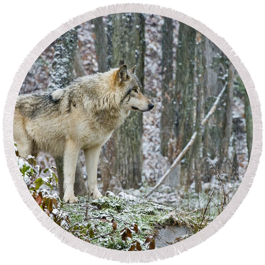 Timber Wolf Round Beach Towel featuring the photograph Timber Wolf Pictures 185 by Wolves Only
