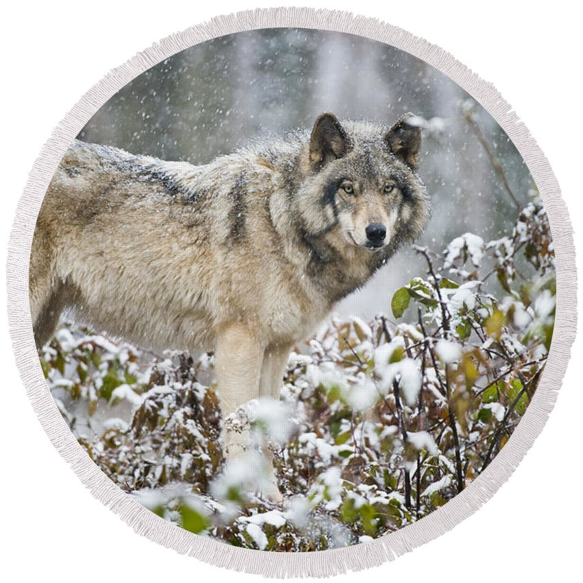 Timber Wolf Round Beach Towel featuring the photograph Timber Wolf Pictures 187 by Wolves Only