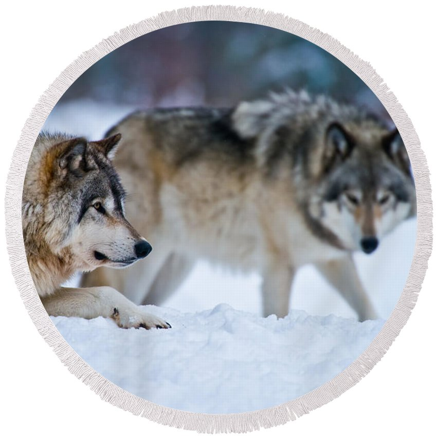 Timber Wolf Round Beach Towel featuring the photograph Timber Wolf Pictures 190 by Wolves Only
