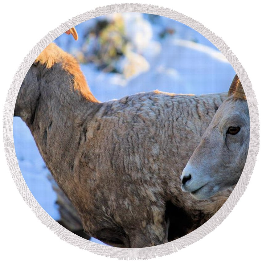 Big Horn Sheep Round Beach Towel featuring the photograph Too Early by Adam Jewell