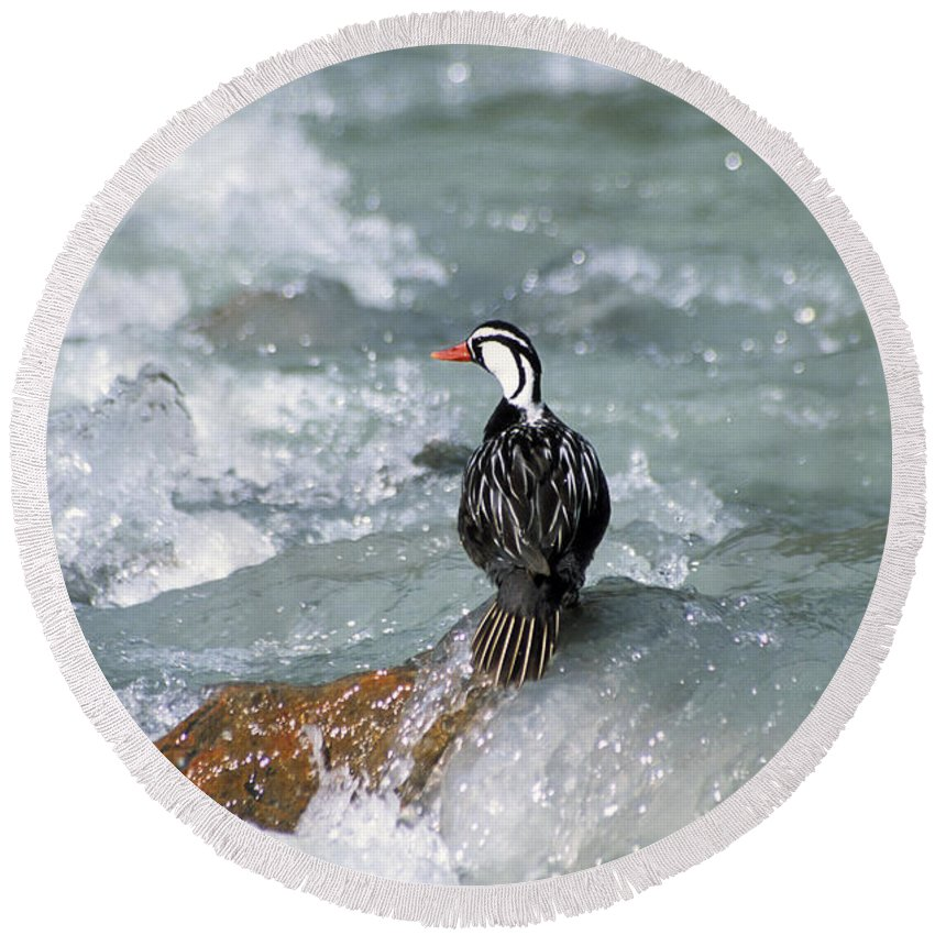 Bird Round Beach Towel featuring the photograph Male Torrent Duck by James Brunker