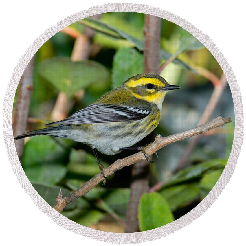 Townsend's Warbler Round Beach Towel featuring the photograph Townsends Warbler In Tree by Anthony Mercieca