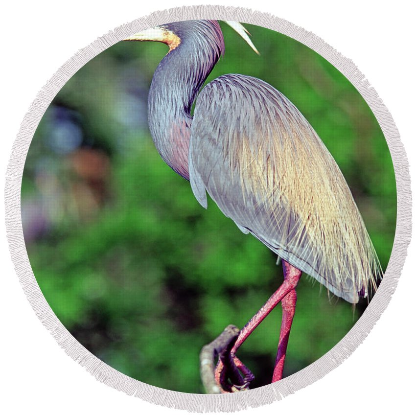 Animal Round Beach Towel featuring the photograph Tricolored Heron In Breeding Plumage by Millard H. Sharp