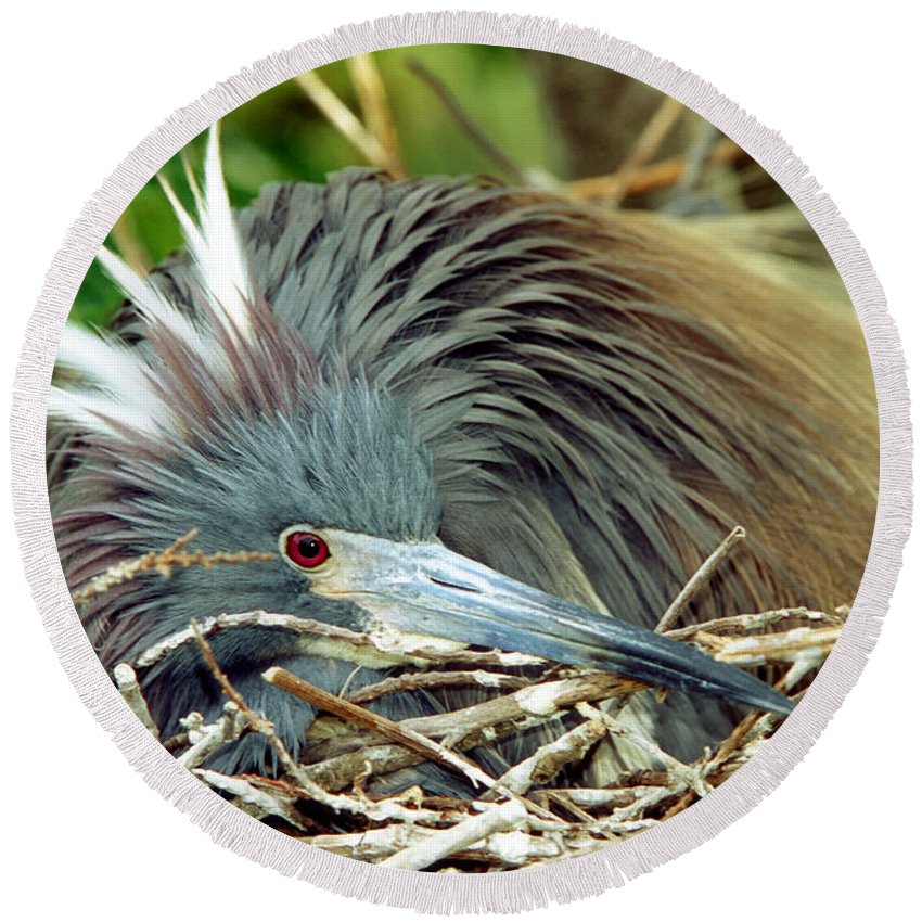 Animal Round Beach Towel featuring the photograph Tricolored Heron Incubating Eggs by Millard H. Sharp