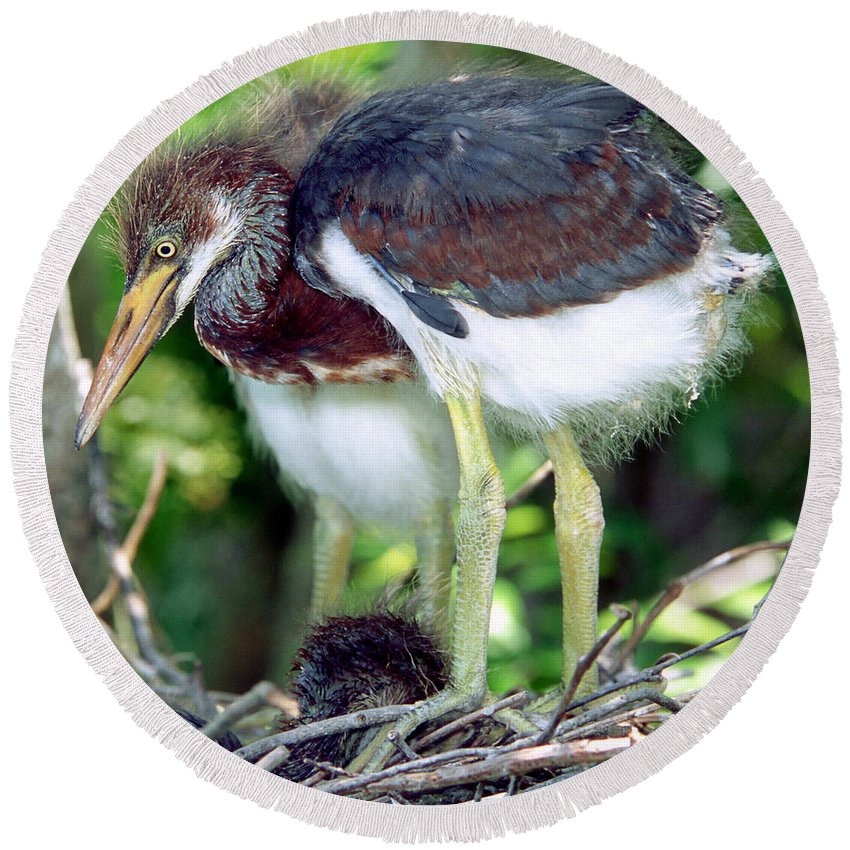 Animal Round Beach Towel featuring the photograph Tricolored Heron Nestlings by Millard H. Sharp