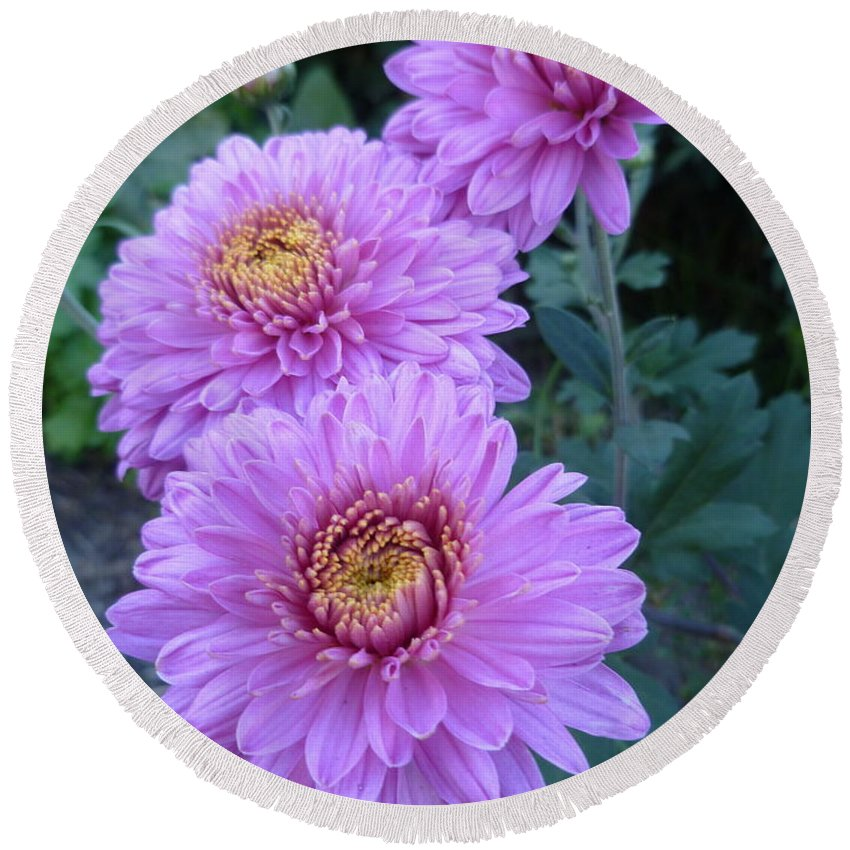 Autumn Mums Round Beach Towel featuring the photograph Triplets Of Purple Mums by Lingfai Leung