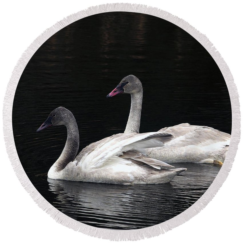 Trumpeter Swan Round Beach Towel featuring the photograph Trumpeter Swan Cygnets by Sharon Talson