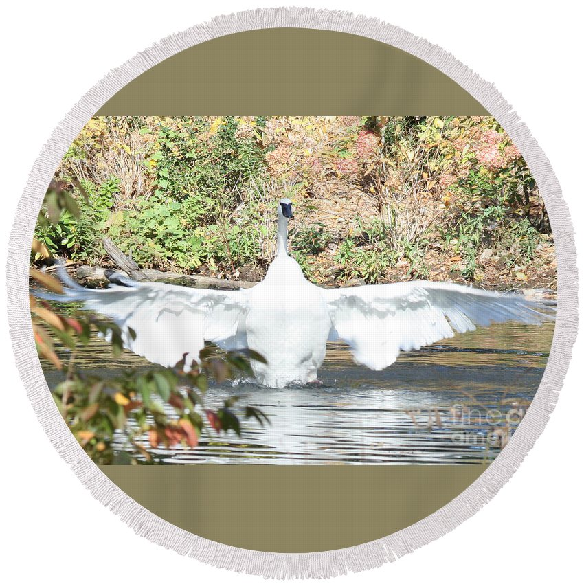 Trumpeter Swan Round Beach Towel featuring the photograph Trumpeter Swan by John Telfer