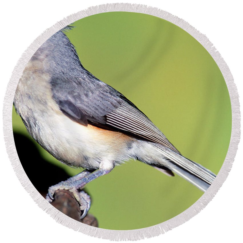 Tufted Titmouse Round Beach Towel featuring the photograph Tufted Titmouse Parus Bicolor by Millard H. Sharp