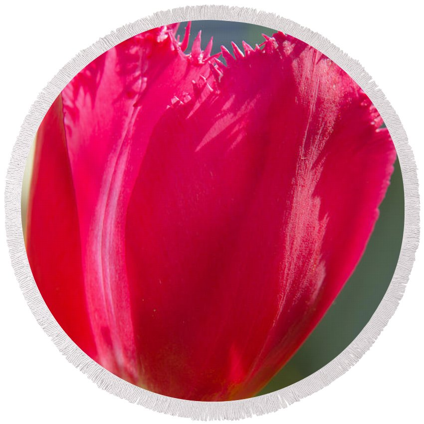 Spring Round Beach Towel featuring the photograph Tulip On The Gray Background by Michael Goyberg